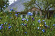 14.maija rīta ziedi. Foto: Aiavars Ošiņš